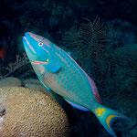 Male Stoplight Parrotfish - Männlicher Grüner Papageienfisch - Sparisoma viride