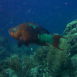 Rainbow Parrotfish - Regenbogen Papageienfisch - Scarus guacamaia