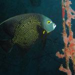 French Angelfish - Franzosen Kaiserfisch -  Pomacanthus paru