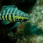 Harlequin Bass - Harlekinbarsch - Serranus tigrinus