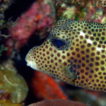 Spotted trunkfish - Schwarzpunkt Kofferfish - Lactophrys bicaudalis