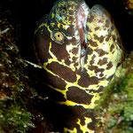Chain Moray - Kettenmuräne - Echidna catenata (Muraenidae)