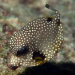 Juvenile Smooth Trunkfish - Juveniler Perlen-Kofferfisch - Rhinesomus triqueter