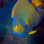 Queen Angelfish - Diadem-Prachtkaiserfisch - Holacanthus ciliaris