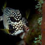 Smooth Trunkfish - Perlen-Kofferfisch - Rhinesomus triqueter