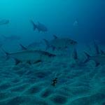 Tarpon - Atlantischer Tarpun - Megalops atlanticus