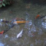 Wertvoller Fische im Teich