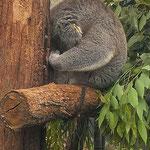 beduselt vom Eukaliptus