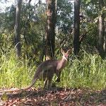 das 1. Kangaroo im Lemmington NP