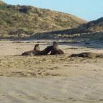 Seelöwen beim Strandspaziergang
