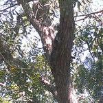 Die Erste Koalaentdeckung im Wildlife