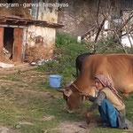 our bull dharma