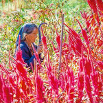 amaranth the gold of the himalayas