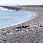 On se baladait sur la plage... quand on a vu ce lion de mer !