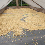 Les grains une fois extraits