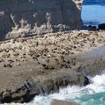 Colnies de lions de mer ...
