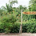La plantation de café