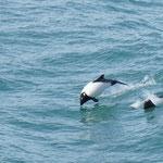 ... on est accompagnés par les toninas  ( petits dauphins)