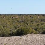 Troupeau de guanacos sauvages (lama de la région)