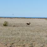 Un lièvre de Patagonie ou mara