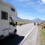 Des troupeaux de lamas traversent devant nous à 4000 mètres  !