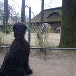 Bei uns zu Hause haben diese Tiere aber keine Strefen...komisch!!!