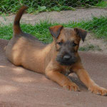 Sooo lang kann ein kleiner Irish Terrier werden...