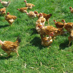 les poulets en liberté