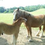 tendresse du poulain avec sa mère