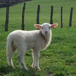 un agneau fait la pose photo