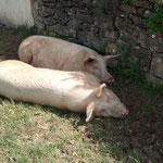 nos deux cochons