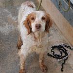 Caramelo, 7340 - entra 09/12 ha tenido problemas con su corazon, se ha muerto en el albergue 03/2013 durante de una tormenta