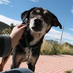 Ty, 3803 2008-01/2014 en el albergue, ha tenido un tumor, fue un perrito muy bueno