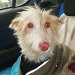 4555, Linnea (Pelusa), 02008-2014 en Gandia, adoptado en 2014 pero con mala suerte, se ha muertao 07/2014