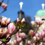 PHOTO JohannesHIRNSPERGER  (magnolienblüte in salzburg)