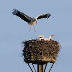 Storch im Anflug auf das Nest (Foto:Hardt)
