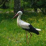 Storch auf der Wiese (Foto:Volkmann)