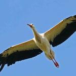 Storch im Flug (Foto:Plack)