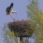 Storch im Anflug auf das Nest (Foto:Zeemann)