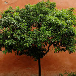 2012: Baum im Alcazar, Sevilla