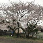 裏庭の桜3本+隣家の桜1本