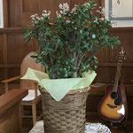 これはフチベニベンケイという名の果肉植物ですが、俗名「金のなる木」というそうです。