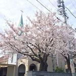 4月4日 満開を迎えた桜 ようやく晴れ間が出たので、逆光気味ですが・・