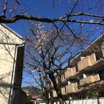 通路の桜はもっと