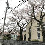 表の桜4本