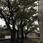 玄関前の桜4本