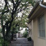 駐車場から道路に出る通路、教会脇の桜3本