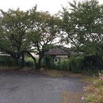 駐車場(園庭)の桜3本