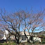 駐車場(園庭)の桜も。
