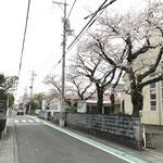 桜通 教会の南隣やその向かいにも桜が。
